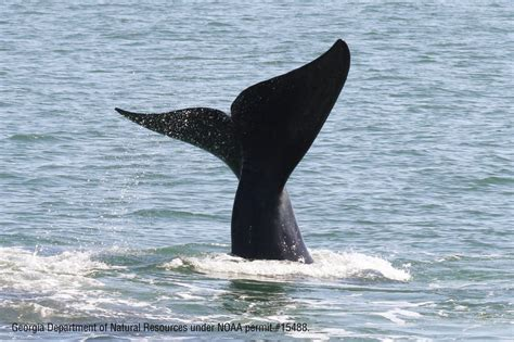 US recommendations to save endangered North Atlantic right