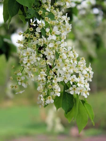 Mayday Cherry for sale - TreeTime