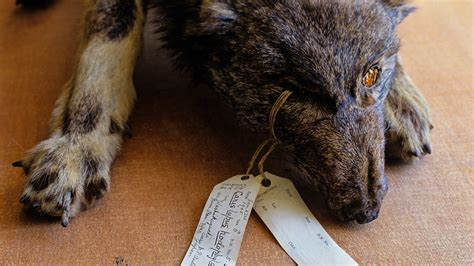 Ancient Japanese wolf may be rare remnant of ice age