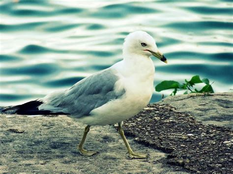 Scientists suggest staring down seagulls to protect your