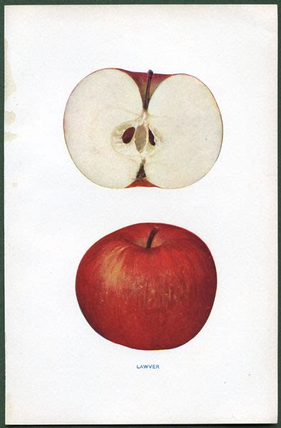 antique prints of apples from S