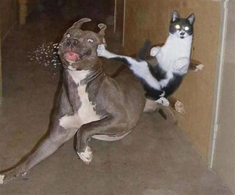 KungFuCat | Cat kicking a dog in the face with a flying
